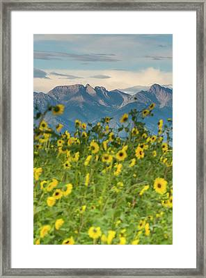 Sunflowers In The San Luis Valley Framed Print
