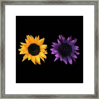 Sunflowers In Uv And Daylight Framed Print