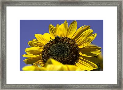 Sunflowers Framed Print by John Holloway
