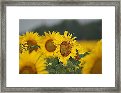 Framed Print featuring the photograph Sunflowers by Kathy Churchman