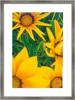 Sunflowers Medley Framed Print