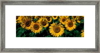 Sunflowers Nd Usa Framed Print by Panoramic Images