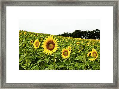 Sunflowers On A Hill Framed Print