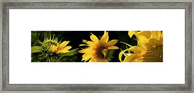 Sunflowers Framed Print by Panoramic Images