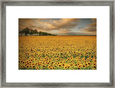 Sunflowers Framed Print by Piotr Krol (bax)