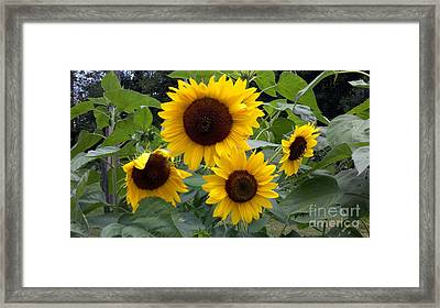 Sunflowers Framed Print by Polly Anna
