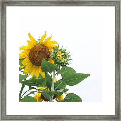 Sunflowers! See Full Gallery: Framed Print