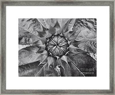 Sunflower's Shades Of Grey Framed Print