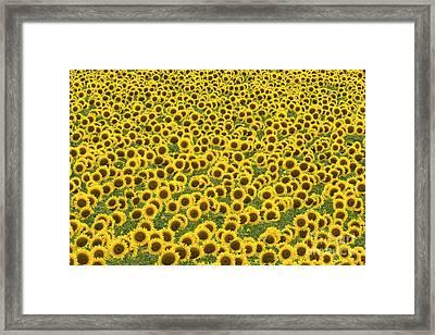 Sunflowers Kansas Framed Print
