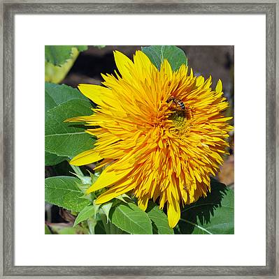 Sungold Sunflower Framed Print by Lisa Phillips