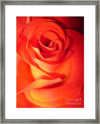 Sunkissed Orange Rose 10 Framed Print
