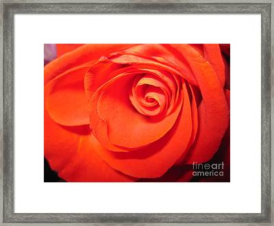 Sunkissed Orange Rose 9 Framed Print