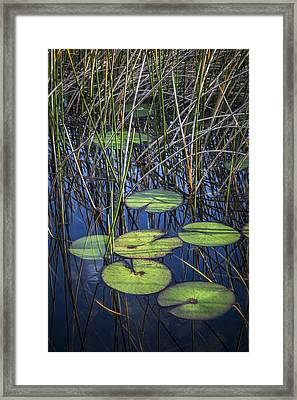 Sunlight On The Lilypads Framed Print by Debra and Dave Vanderlaan