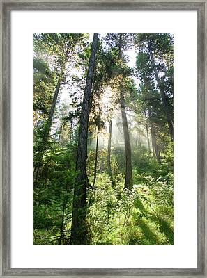 Sunlight Shining Through Forest Canopy Framed Print by Eric Zamora