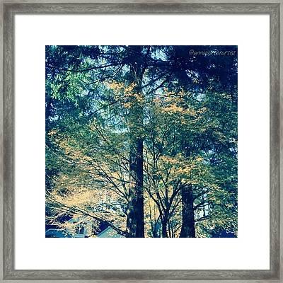 Sunlight Through Vine Maples Framed Print