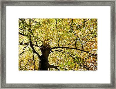 Sunlit Autumn Tree Framed Print by Natalie Kinnear