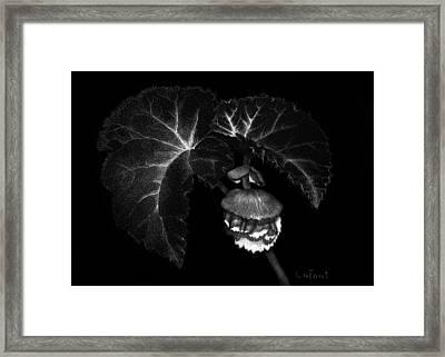 Sunlit Begonia Framed Print