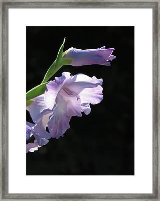 Sunlit Gladiolus In Violet   Framed Print