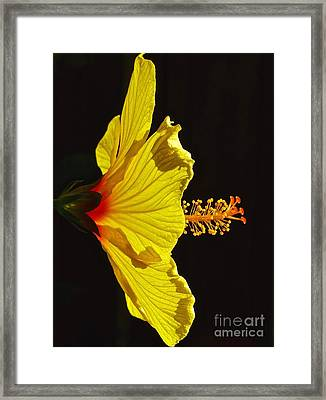 Sunlit Hibiscus Framed Print