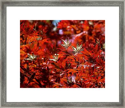 Sunlit Japanese Maple Framed Print by Rona Black