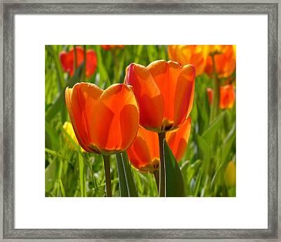 Sunlit Orange Tulips Framed Print by Rona Black