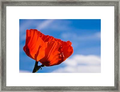 Sunlit Poppy Framed Print by Adam Romanowicz
