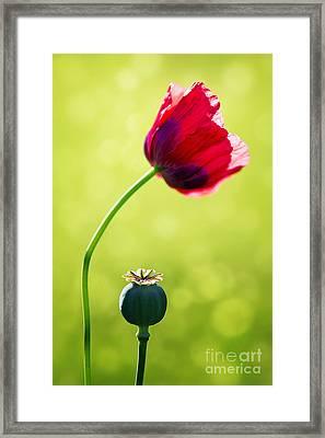Sunlit Poppy Framed Print by Natalie Kinnear