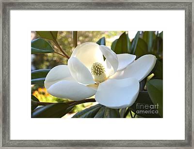 Sunlit Southern Magnolia Framed Print