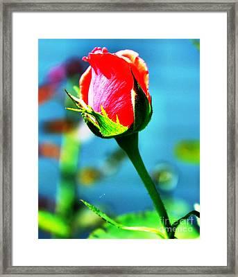 Sunlite Rose Bud Framed Print by Judy Palkimas