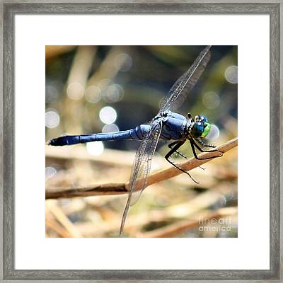 Sunning Blue Dragonfly Square Framed Print by Carol Groenen