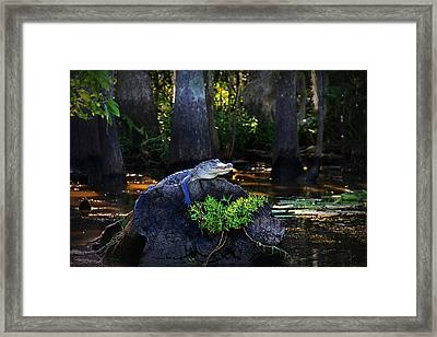Sunning In The Louisiana Swamp Framed Print by Mountain Dreams