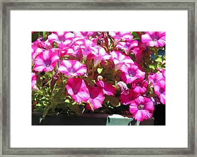 Sunning Petunias Framed Print by Barbara McDevitt