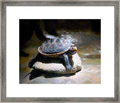 Sunning Terrapin Framed Print by Donna Proctor