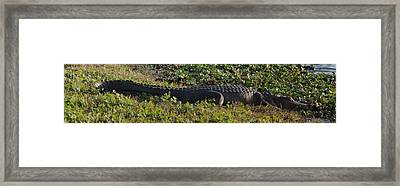 Sunny Alligator Framed Print by Joshua House