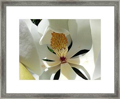 Sunny And Shy Magnolia Framed Print