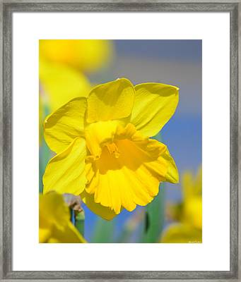 Sunny Days Of The Daffodil Framed Print by Maria Urso