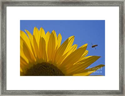 Sunny Fly By Framed Print by Nick  Boren