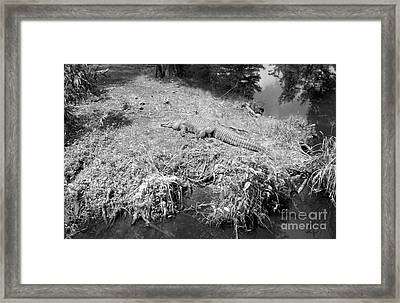 Framed Print featuring the photograph Sunny Gator Black And White by Joseph Baril