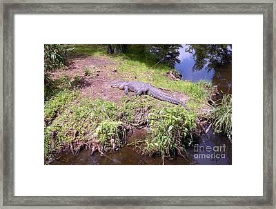 Framed Print featuring the photograph Sunny Gator  by Joseph Baril