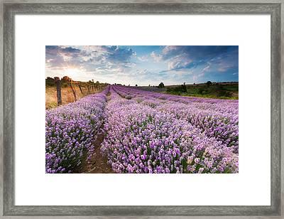 Sunny Lavender Framed Print