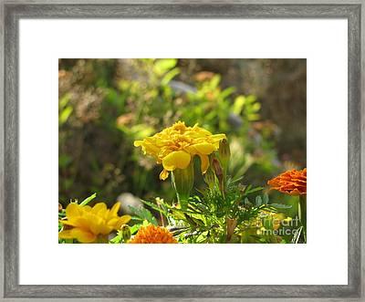 Sunny Marigold Framed Print by Leone Lund