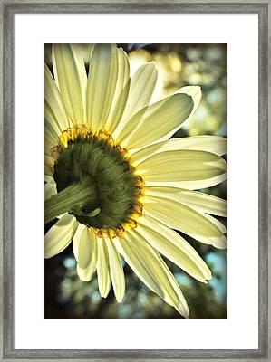 Sunny Shasta Daisy Framed Print by Kelly Nowak