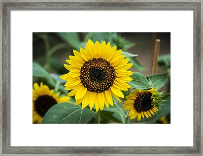 Framed Print featuring the photograph Sunny Smile Sunflower by Phil Abrams