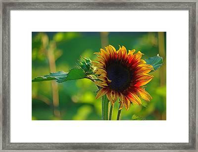 Sunny Sunflower Framed Print by Denise Darby
