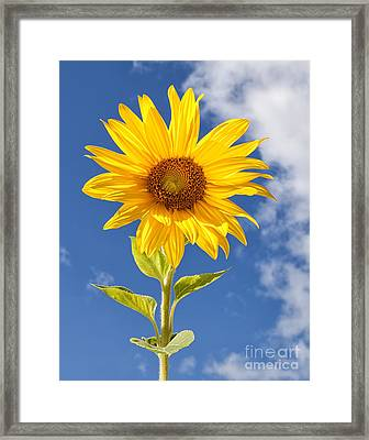 Sunny Sunflower Framed Print by Joshua Clark