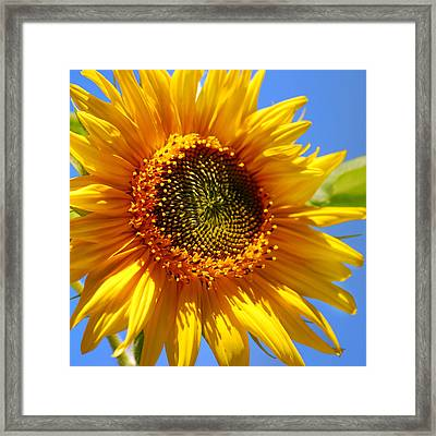 Sunny Sunflower Square Framed Print by Christina Rollo