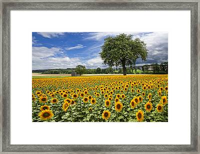 Sunny Sunflowers Framed Print by Debra and Dave Vanderlaan