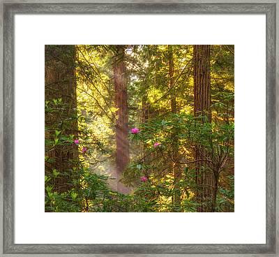 Sunrays Over Redwoods Framed Print
