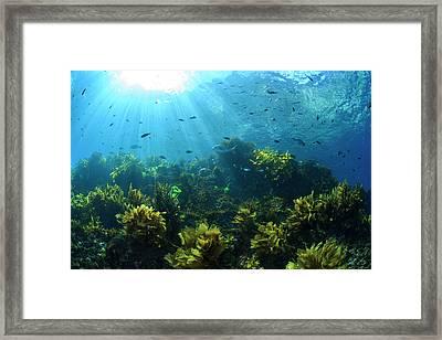 Sunrays Shine On Fish And Kelp Framed Print