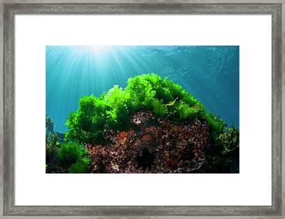 Sunrays Shine On Kelp Through Clear Framed Print